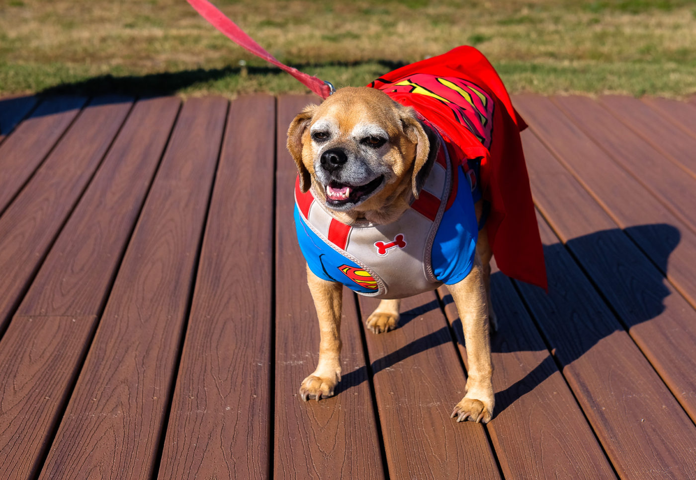 Portraits of the Jersey Shore Asbury Park Puggle Survived Attack by Pitbull just before Superstorm Sandy Superdog Costume Halloween